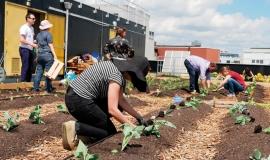 Plantations sur le toit de la Communauté Facteur Graines, Groupe La Poste  paris 18ème  © Sarah Langinieux / Cityside